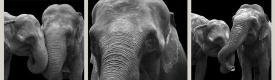 African elephants close-up, isolated on a black background stock image