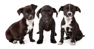 Three Black and White Puppies Stock Images