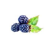 Three blackberries. . Watercolor Royalty Free Stock Photo