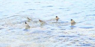 Three blacktip reef sharks royalty free stock image
