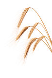Three blades of wheat Royalty Free Stock Photography