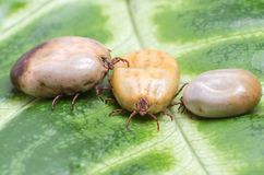 Three blood-filled mites crawl along the green leaf.  Stock Images