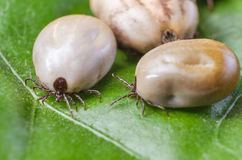 Three blood-filled mites crawl along the green leaf.  Royalty Free Stock Photography