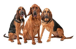 Three Bloodhound Dogs Isolated on White Royalty Free Stock Photos