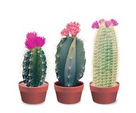 Three blooming cactuses Stock Photos