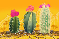 Three blooming cactuses in desert Royalty Free Stock Image