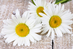 Three blooming camomiles Royalty Free Stock Images