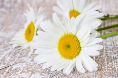 Three blooming chamomile Stock Photos