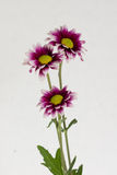 Three blooming flowers. Three flower of gazania with light background Stock Photo