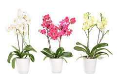 Three blooming orchids in pots stock images