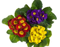 Three blooming primroses isolated on white Royalty Free Stock Photo