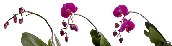 Three blooming purple Phalaenopsis orchid with buds Stock Image