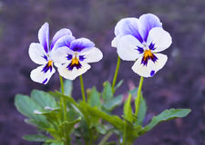 Three blooming violets on purple background Stock Image
