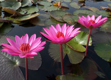 Three Blooming Vivid Pink Lotus Flowers and Green Leaves in a lake Royalty Free Stock Photo