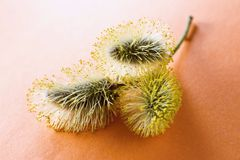Three blooming yellow catkin on orange background Stock Photography