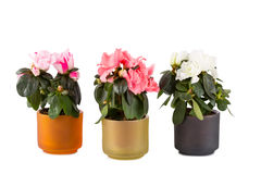 Three blossoming mini-azaleas Stock Images