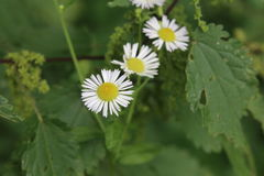 Three blossoms of Erigeron annuus, the daisy fleabane Royalty Free Stock Image