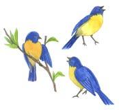 Three blue bird. Bird on tree. Hand drawn illustrations Stock Image