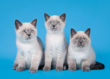 Three blue color point british kittens. Three small blue color point british kittens on light blue background Royalty Free Stock Image