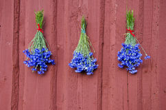 Three blue cornflower bunch on red house wall Stock Photos