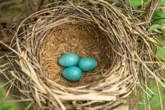 Three blue eggs in the nest closeup. Three blue eggs in the nest in forest in nature closeup, macro Royalty Free Stock Photos