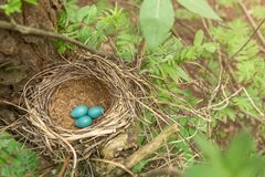 Three blue eggs in the nest. In forest in nature Royalty Free Stock Photos