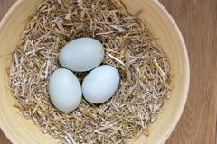 Three blue organic eggs. Three of  blue eggs in a nest of hay that are laid by theses breeds Legbar, Ameraucana,  Araucana and Easter chickens, over view to Stock Image