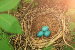 Three blue eggs in the nest in nature closeup. Three blue eggs of the thrush in the straw nest on a tree in the forest closeup Stock Photo