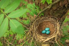 Three blue eggs in straw nest on a tree in nature Stock Image