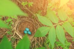 Three blue eggs in the straw nest on a tree in sunlight Royalty Free Stock Photo