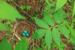 Three blue eggs of the thrush in the straw nest on a tree in the forest Royalty Free Stock Images