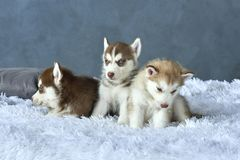 Three blue-eyed copper and light red husky puppies lying on white blanket Stock Images