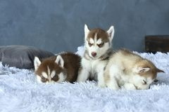 Three blue-eyed copper and light red husky puppies lying on white blanket Royalty Free Stock Photo