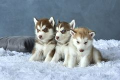 Three blue-eyed copper and light red husky puppies lying on white blanket Royalty Free Stock Images