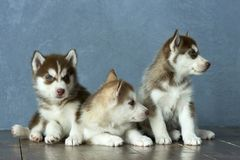 Three blue-eyed copper and light red husky puppies on wooden floor and gray-blue background Royalty Free Stock Photography