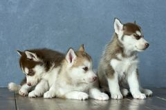 Three blue-eyed copper and light red husky puppies on wooden floor and gray-blue background Royalty Free Stock Photo