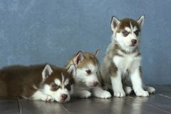 Three blue-eyed copper and light red husky puppies on wooden floor and gray-blue background Stock Images