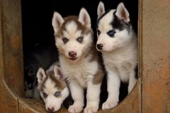Three blue-eyed puppies Stock Images