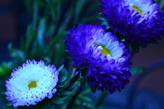 Two vivid electric blue one white flower Royalty Free Stock Image