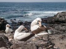 Three Blue Footed Boobies Royalty Free Stock Photography