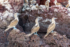 Three Blue Footed Boobies Royalty Free Stock Photo