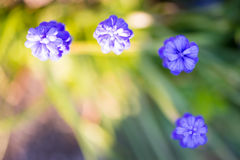 Three blue grape hyacinth with bird's eye view Royalty Free Stock Photography