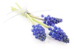 Three blue grape hyacinths Stock Photography
