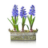 Three blue hyacinths in a pot Stock Images