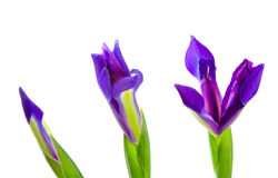 Three Blue Iris Flowers. At various stages of bloom Royalty Free Stock Photos