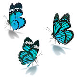Three blue monarch butterfly. Isolated on white background stock photography