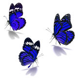 Three blue monarch butterfly. Isolated on white background royalty free stock photo
