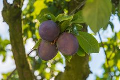 Three blue plums on a green branch royalty free stock photography