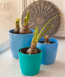 Three blue pot with Hippeastrum on the window Stock Image