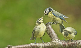 Three blue tits on a branch. Royalty Free Stock Photo